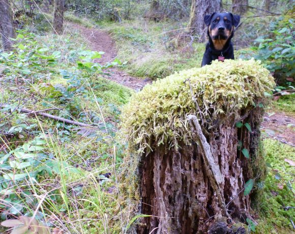 Raven peeks her head up behind moss covered stump trail behind